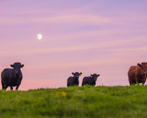 Four Dexter cows stand on a hill in a green field, the sunset is silhouetted behind them